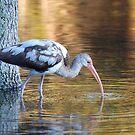 Immature White Ibis by Kathy Baccari