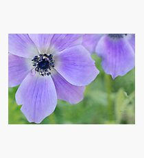 wild anemones Photographic Print