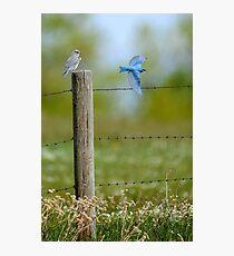Mr & Mrs Blue Bird Photographic Print