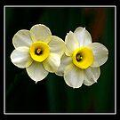Daffodils by Gordon Holmes