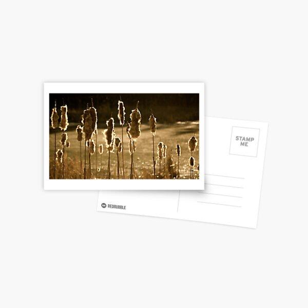 Bullrushes in Sunlight Postcard