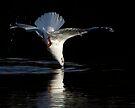 Feeding Black-headed Gull by Neil Bygrave (NATURELENS)