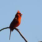 NC Bird by vasu