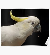 Sulpher Crested Cockatoo Poster