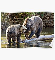 Grizzly Bear & Cub 2 Poster
