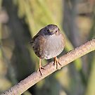 Hedge Accentor by dilouise