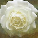 Vintage White Rose by Astrid Ewing Photography