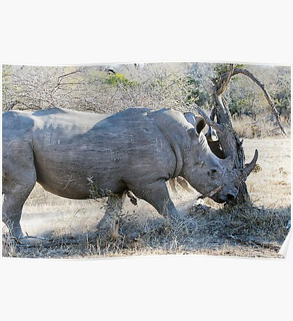 Charging Angry Rhino  Poster
