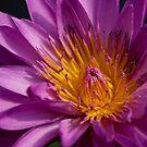 Lotus Flower by Greg Earl