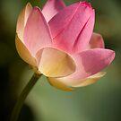 Pink Lotus by Greg Earl