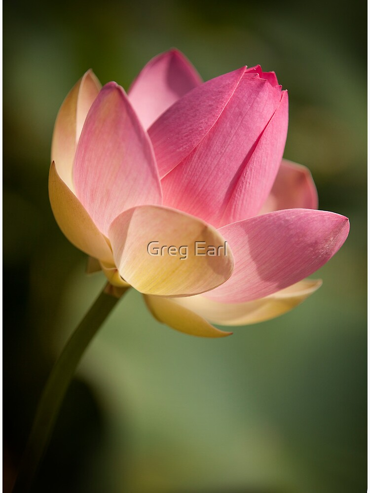 Pink Lotus by GregEarl