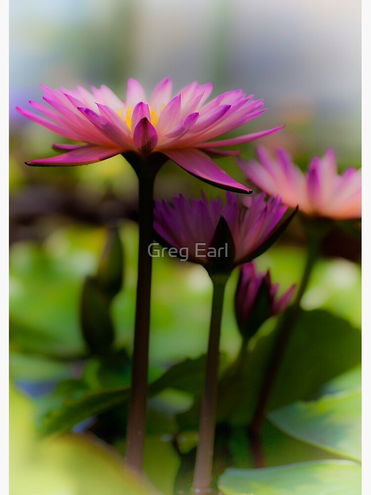 Pink Lotus 2 by GregEarl