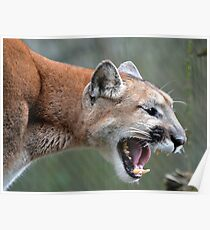 Cougar Scream Poster