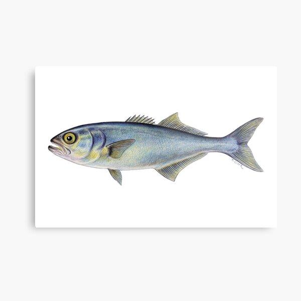 Bluefish (Pomatomus saltatrix) Metal Print