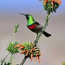 Sunbird on Wild Dagga Plant by HippyDi