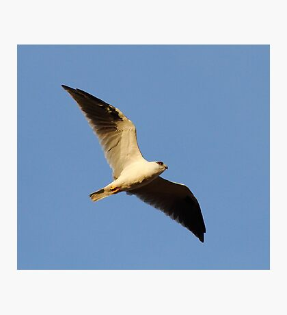 """Black Shouldered Kite"" Photographic Print"