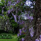Wisteria Up The Tree by Gabrielle  Lees