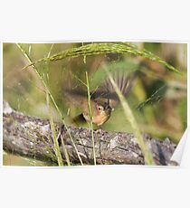 Common Yellowthroat Warbler Female Poster