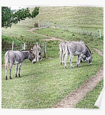 Donkeys Enjoying The Good Life Poster