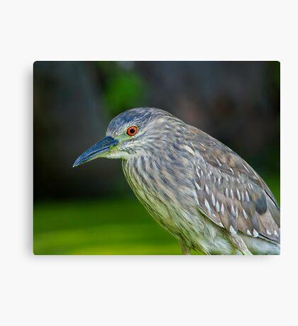 Juvenile Night Heron Canvas Print