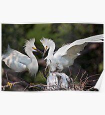 Snowy Egret Family Poster