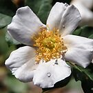 White Rose With Water Droplets by Heather Friedman