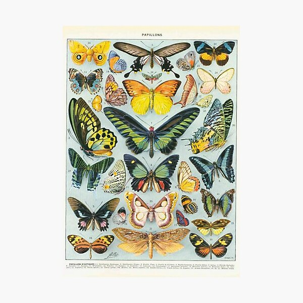 butterfly chart Photographic Print