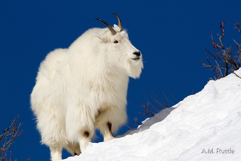 Quot Mountain Goat On Blue Quot By A M Ruttle Redbubble