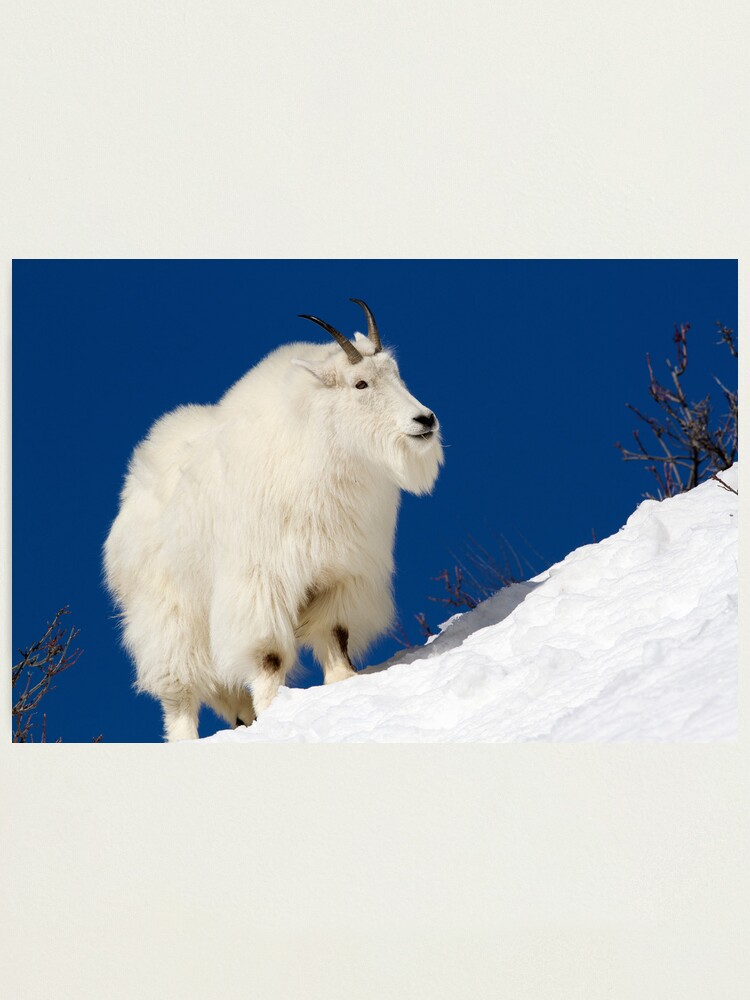 Alternate view of Mountain Goat On Blue Photographic Print