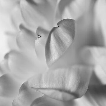 Chrysanthemum by dormouse1976