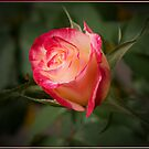 Red and White Rose 2 by Chris Cohen