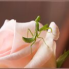 Baby Praying Mantis on a Pink Rose by Chris Cohen