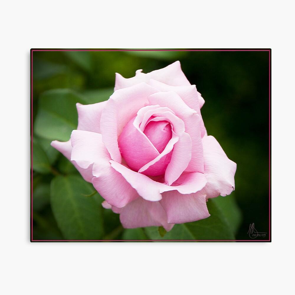 Pink Rose 1 Canvas Print