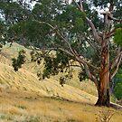 Steep farm country, Strzelecki Ranges, Gippsland, Victoria. by johnrf