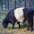 The Belted Galloway by Jamie  Green