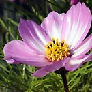 Pink Cosmos by Joyce Knorz
