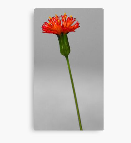 Florida Tasselflower Canvas Print