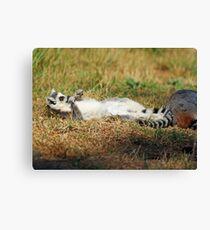 sun bathing ring tailed lemur  Canvas Print
