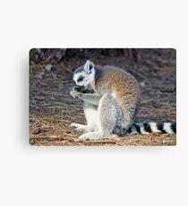 lemur having a snack Canvas Print