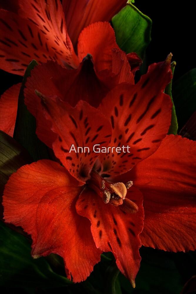 Alstroemeria by Ann Garrett