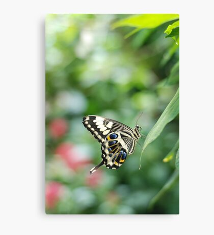 butterfly in green Canvas Print