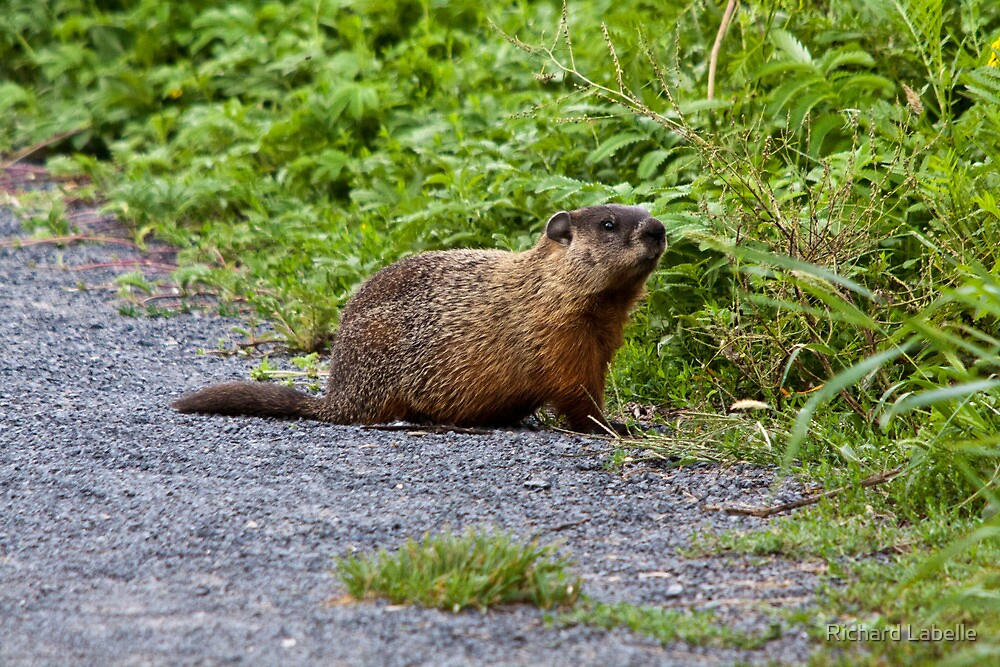 Groundhog by Richard Labelle