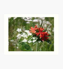 Dianthus. Art Print