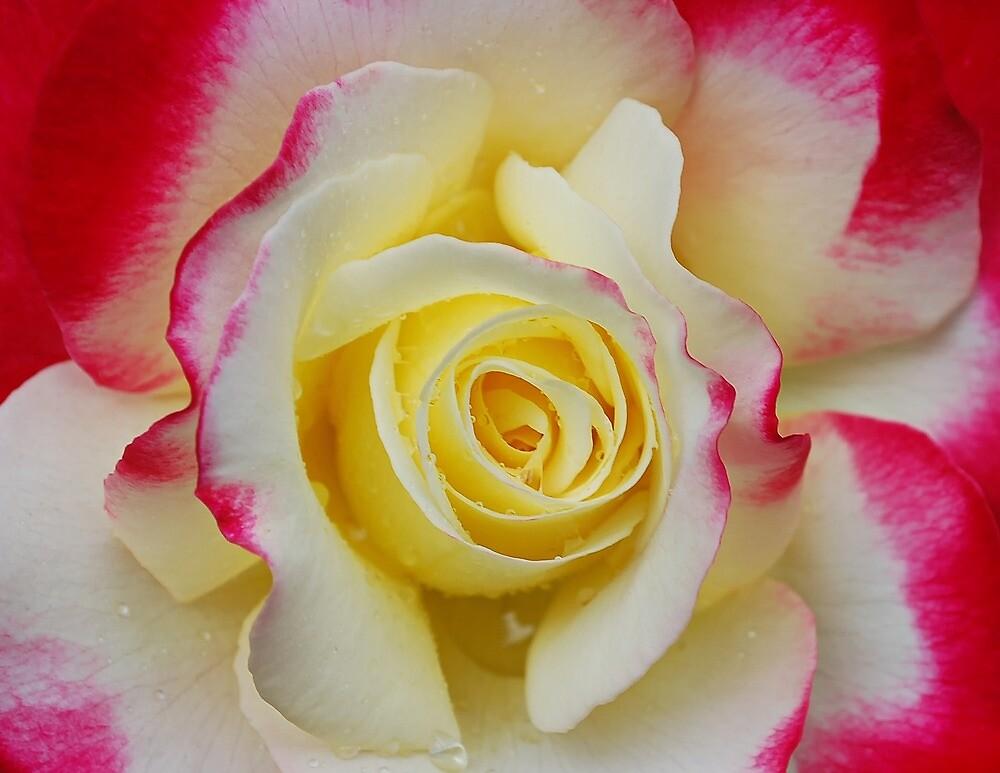 Macro Rose by YingDude