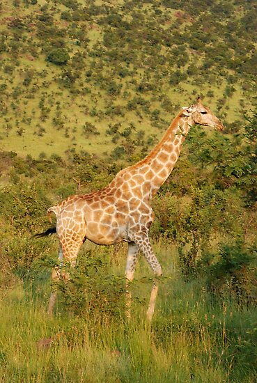 reticulated giraffe - pilanesburg, south africa by mellychan