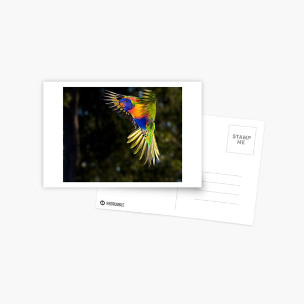 Rainbow Lorikeet Postcard