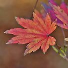 Red leaf by Mark Johnstone