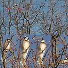 Blue Jays (Without the Blue) by Paul Gitto