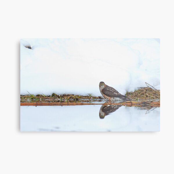 Sharp-shinned Hawk Ice Bath Metal Print