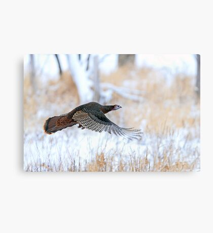 Wild Turkey Flight Canvas Print